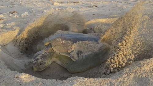 Turtle Nesting At Eighty Mile Beach
